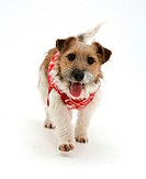 Jack Russell Terrier in snowflake coat.
