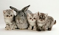 Silver exotic kittens and silver lop rabbit.