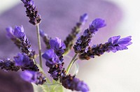 Lavender flowers in a vase