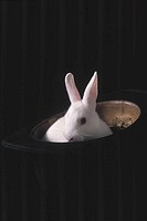 White rabbit in black top hat
