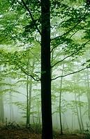 Beeches (Fagus sylvatica). Montseny. Catalunya. Spain.