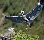 Great blue herons (Ardea herodias). Venice bird rockery, Venice, Florida, USA