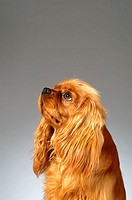 Side profile of a Cocker Spaniel (thumbnail)