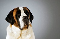 Close-up of a St. Bernard dog looking away