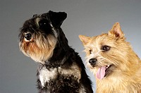 Close-up of a Schnauzer and a Yorkshire Terrier