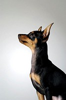 Side profile of a Chihuahua looking up