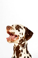 Side profile of a Dalmatian looking up