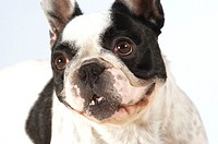 Close-up of a Boston Terrier looking up