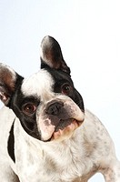 Close-up of a Boston Terrier