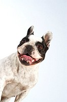 Close-up of a Boston Terrier sticking out its tongue