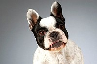 Portrait of a Boston Terrier