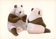Illustration of Two Giant Panda