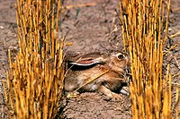 Close up of Jack rabbit in wheat field