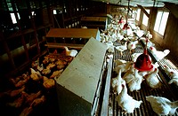 Prime laying hen being grown on research farm,Pocomoke, Virginia
