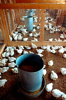 Feading chicks on research farm near Salisbury, MD