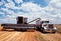 Custom harvest combine harvest wheat, combine loads wheat into the truck near Cheyenne, WY