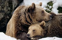 Brown near (Ursus arctos). Mother and cub. Intimity, lying in front of their den. National Park Bavarian Forest. Germany