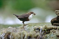 Dipper (Cinclus cinclus). Lillach. Creek near Nuremberg. Waterfall, spring. Bavaria. Germany.