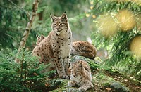 Lynx (Lynx lynx) mother with cubs, family, resting on a rock. Pine Forest in autumn. National Park Bavarian Forest. Germany