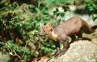 Pine marten (Martes martes) climbing down a rock, summer. National Park Bavarian Forest. Germany.