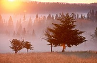 Pine forest, morning fog, sunrise. Raised bog. High moor. Knizeci Plane. Strictly protected area. National Park Sumava. Czech Republic.