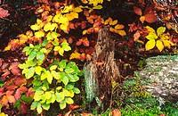 Beeches (Fagus Sylvatica). Ordesa NP and Monte Perdido. Pyrenees. Huesca province. Aragon. Spain.