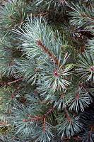 Scot´s pine foliage (Pinus sylvestris).