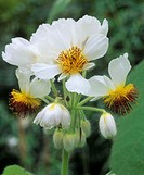 African hemp flowers (Sparrmannia africana).