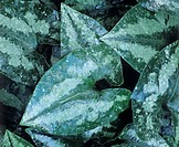 Wild ginger leaves (Asarum chingchengense).