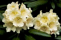 Rhododendron (Rhododendron ´Yakushimanum´) flowers.