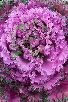 Ornamental cabbage (Brassica oleracea).