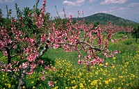 Prunus persica. In orchard landscape Greece.