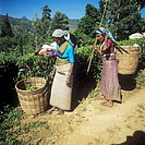Tea pickers. Women with baskets full of tea leaves (Camellia sp.). Photographed in the Hatton district, Sri Lanka.