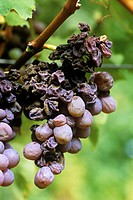 Noble rot fungus (Botrytis cinerea) growing on grapes. Under the right conditions this mould is beneficial to the wine-making process. It causes the g...