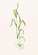 Two-row barley (Hordeum distichum). Watercolour artwork illustrating stages of growth of two-row barley. The stem at left is topped by spikelets of fl...