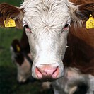 Close_up of cow with tags on ears
