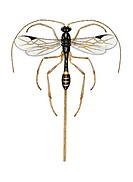 Braconid wasp, artwork. This species of wasp has a particularly long ovipositor. This adult has emerged from the multiple cocoon spun on the outside o...