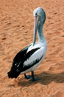 Australian pelican (Pelecanus conspicillatus) preening on a beach. Preening is the cleaning and oiling of feathers to keep them in good condition. The...