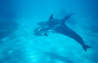 Bottlenose dolphin. (Tursiops truncatus). These dolphins are found in all of the world´s seas with the exception of the polar oceans. They live in gro...