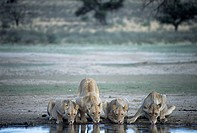 Lionesses. Female African lions (Panthera leo) drinking. Lions are sociable animals, living in prides consisting of one or two dominant males with sev...