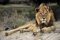 Male African lion (Panthera leo). Male lions are the only cats to have manes. Lions are sociable animals, living in prides consisting of one or two do...