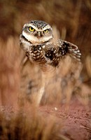 Burrowing owl (Athene cunilaria) sitting in front of a rabbit burrow. Stretching the wings. Chapada dos Guimaraes. Brazil