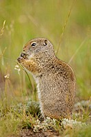 Uinta ground squirrel feeding - (Spermophilus armatus) - Wyoming - Fairly large ground squirrels found only in southwestern Montana-western Wyoming-so...