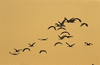 Silhouette of geese in flight