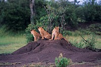 Three lions (Panthera leo) sitting on dirt mount, Kenya