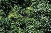 Mountain gorilla (Gorilla gorilla berengei) in forest, Park du Volcanes, Rwanda