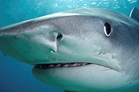 Close-up of Tiger shark (Galeocerdo cuvier)