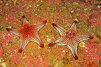 Pair of Panamic Cushion Stars, Pentaceraster cumingi, Sea of Cortez, Mexoci
