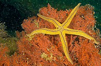 Yellow Spotted Star (Pharia pyramidata) on Red Gorgonian (Eugoria danian). Sea of Cortez, Mexico