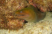 Panamic Green Moray, (Gymnothorax castaneus) Eel, Sea of Cortez, Mexico